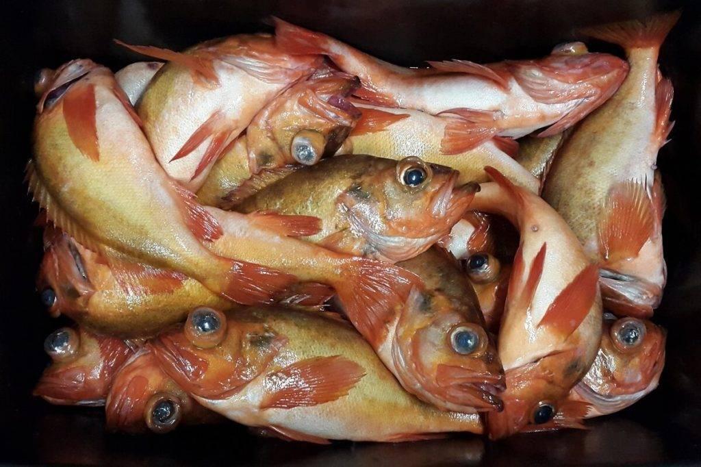 Красный морской окунь польза и вред