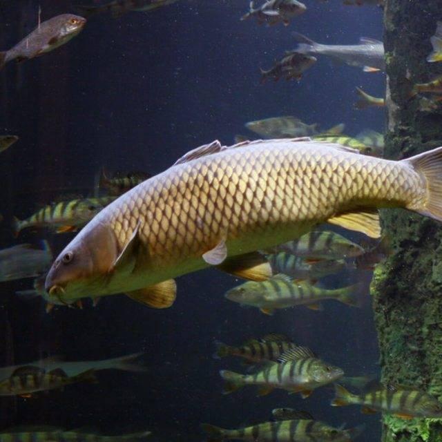 Вкусовые качества рыбы сазан