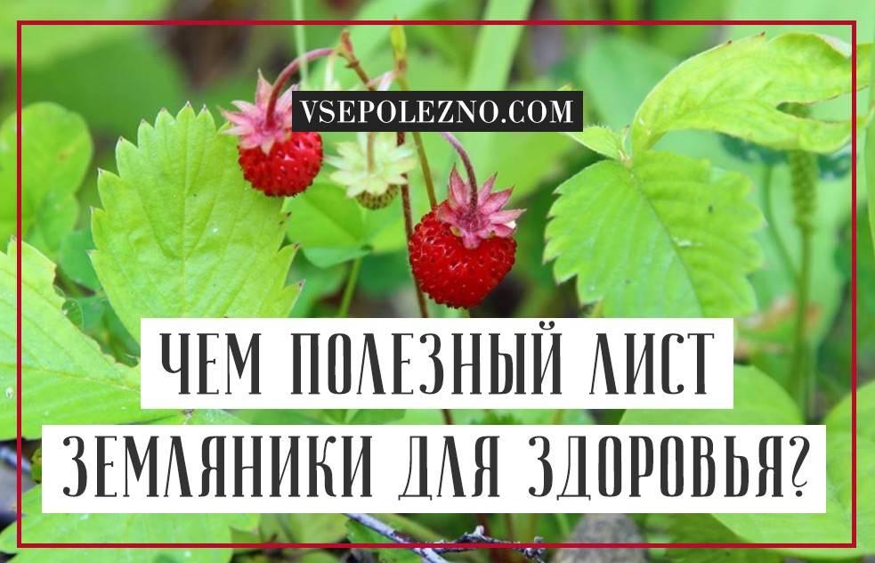 Трава лист земляники лечебные свойства и противопоказания