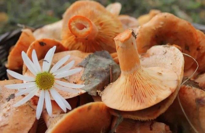 Рыжики грибы чем полезны