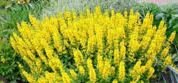 Вербейник: описание и лечебные свойства растения