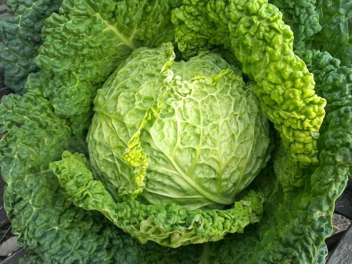 Cавойская капуста — польза и вред, свойства и противопоказания