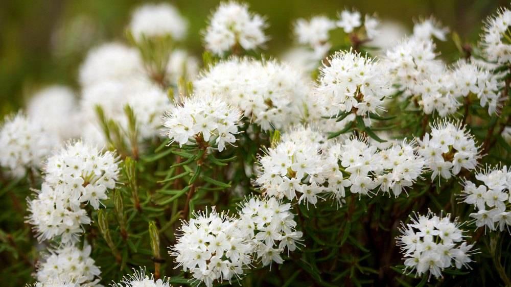 Багульник болотный: лечебные свойства и противопоказания к использованию