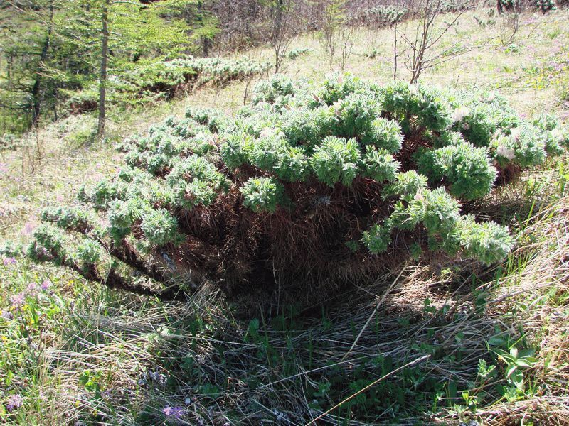 Карагана кустарниковая: описание, виды и сорта