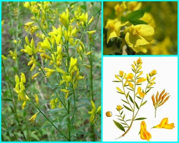Лекарственная трава дрок красильный