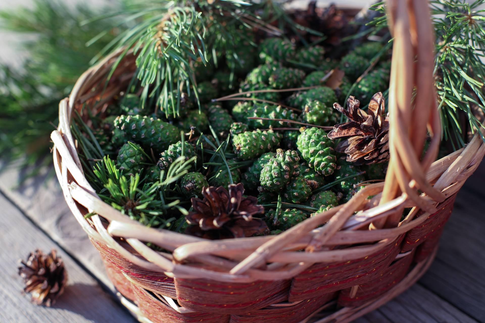 Сосновые шишки: использование в домашних условиях, лечебные свойства и противопоказания