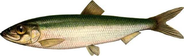 Рыба салака: описание, особенности поведения, основные способы ловли