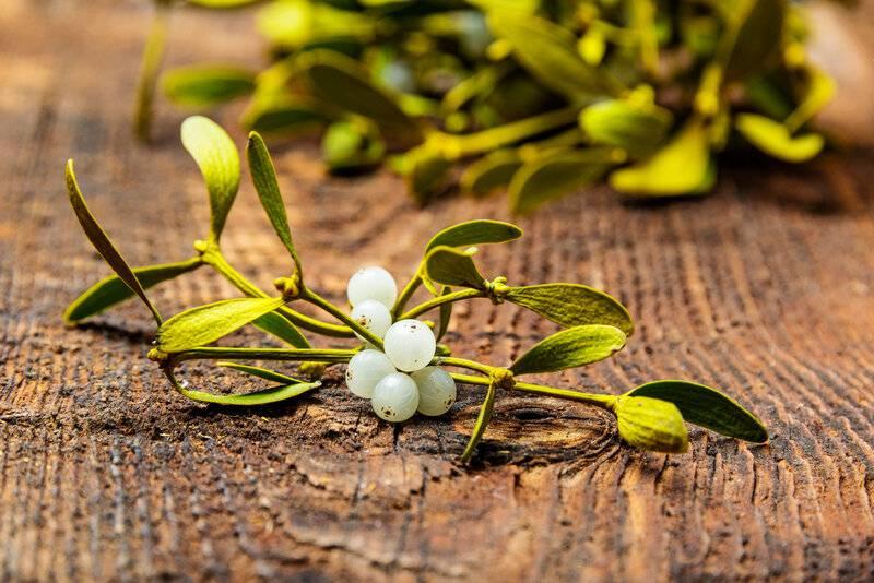 Омела белая — её лечебные свойства и противопоказания