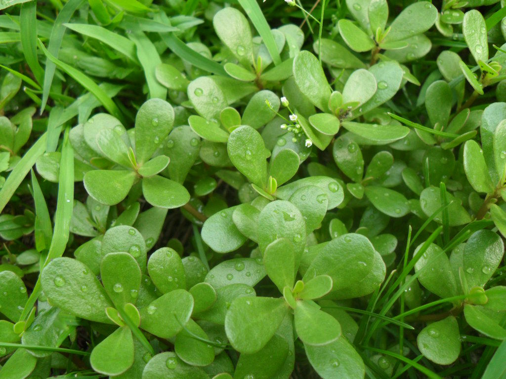 Портулак огородный – популярное пищевое растение с лечебными свойствами