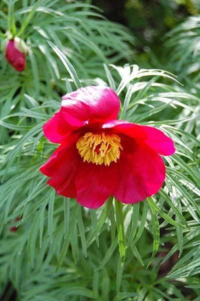 Марьин корень лечебные свойства и противопоказания