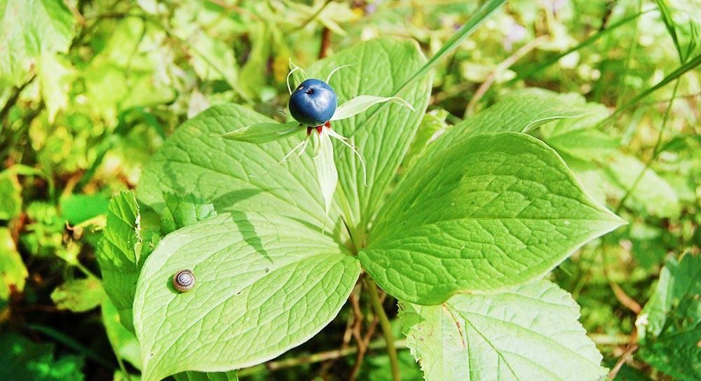 Ядовитое растение вороний глаз четырехлистный, полезные свойства имеры предосторожности