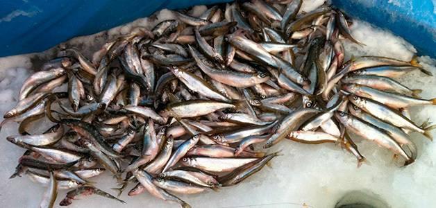 Рыба корюшка: польза и вред, среда обитания, приготовление