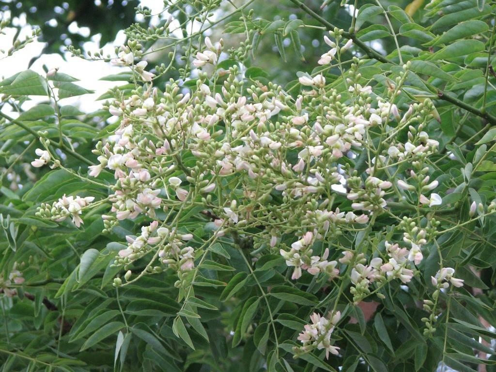 Плоды софоры японской: лечебные свойства и противопоказания, отзывы