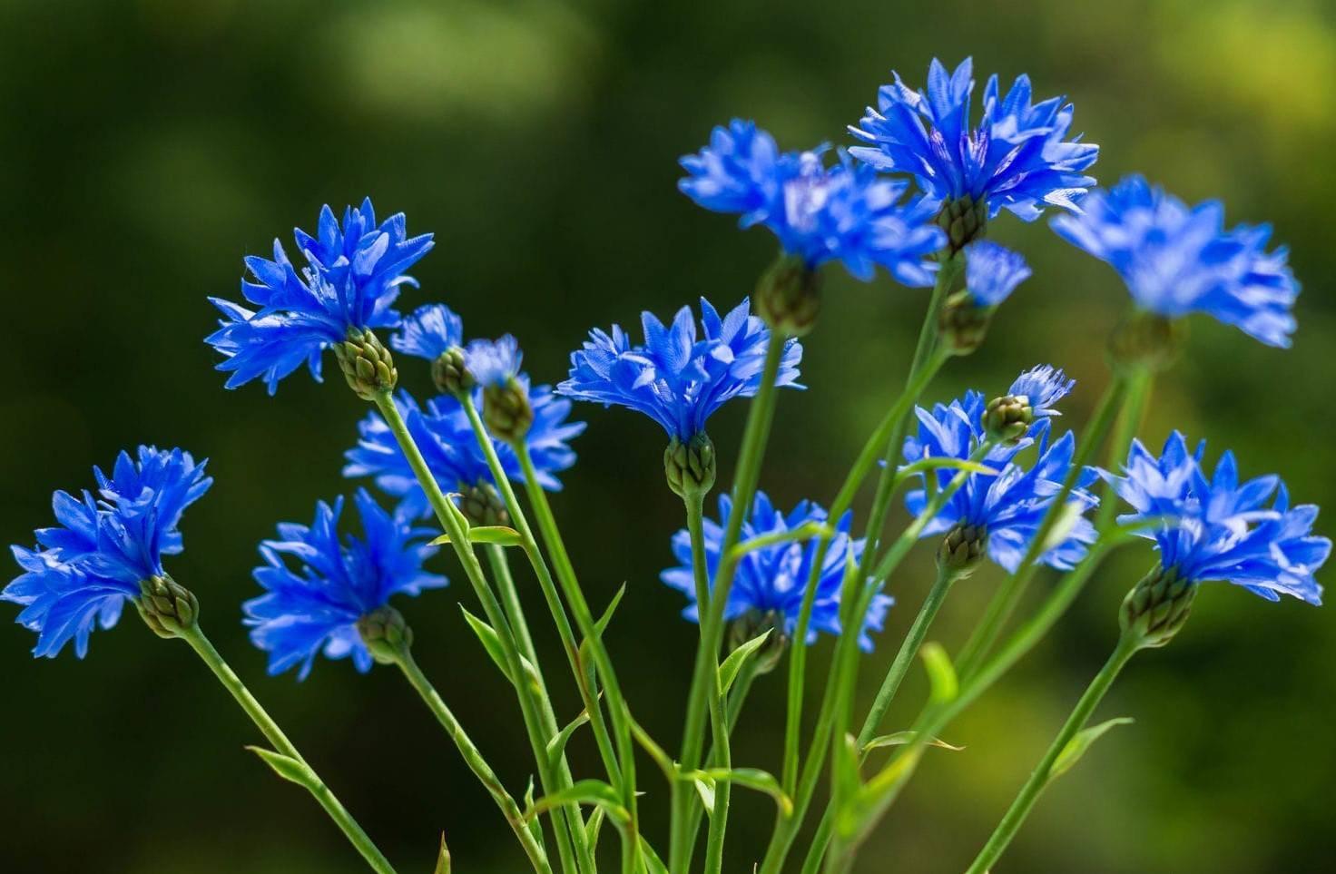 Василек синий: лечебные свойства и применение в народной медицине