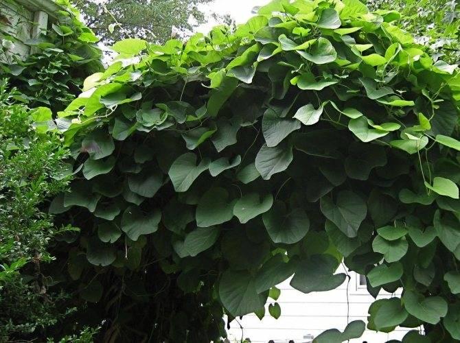 Лечебные свойства  и противопоказания кирказона, описание растения и применение