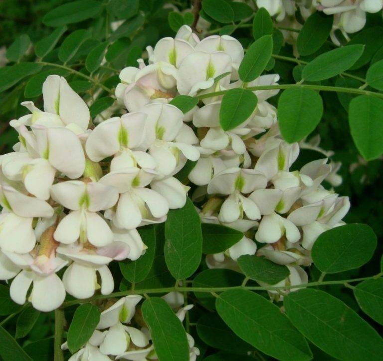 Применение цветков белой акации в лечении многих болезней