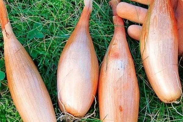 Лук-шалот: калорийность, применение, полезные свойства и противопоказания