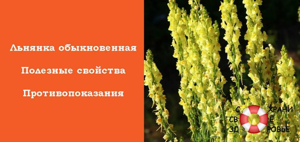 Льнянка: описание и выращивание растения