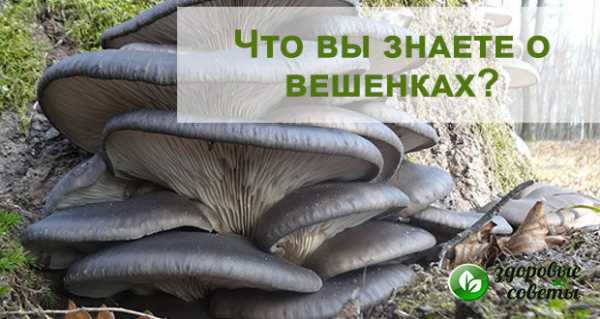 Польза и вред грибов вешенок для здоровья