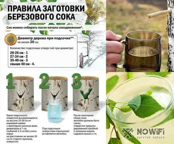 Польза березового сока для организма, целебные свойства, заготовка ихранение