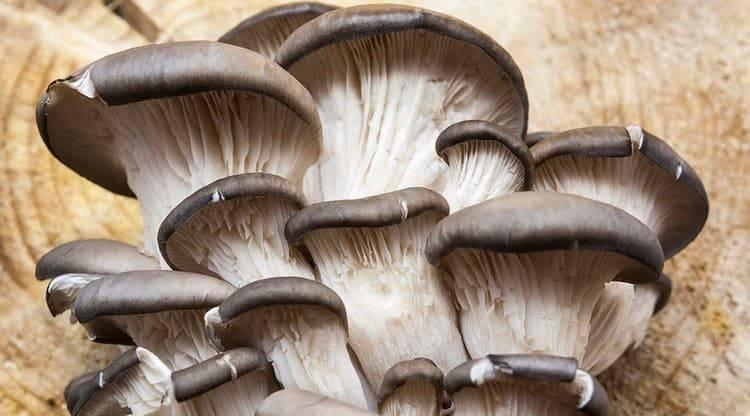 Вёшенки: польза и вред грибов