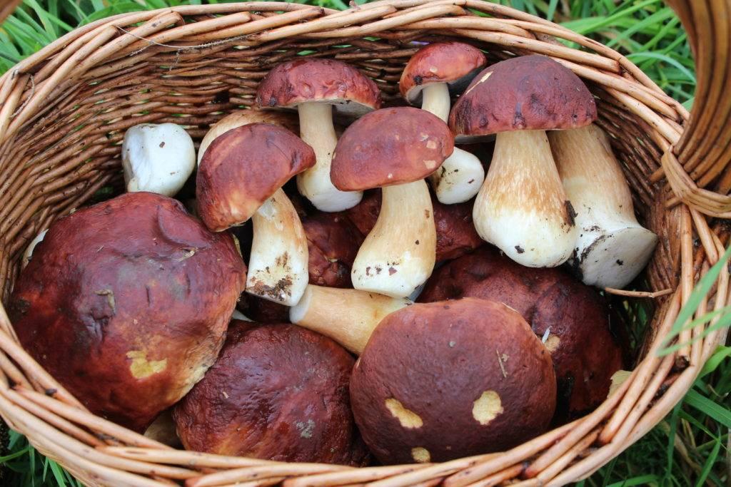 Белые грибы польза для здоровья
