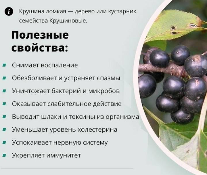 Лечебные свойства коры крушины и инструкция по применению