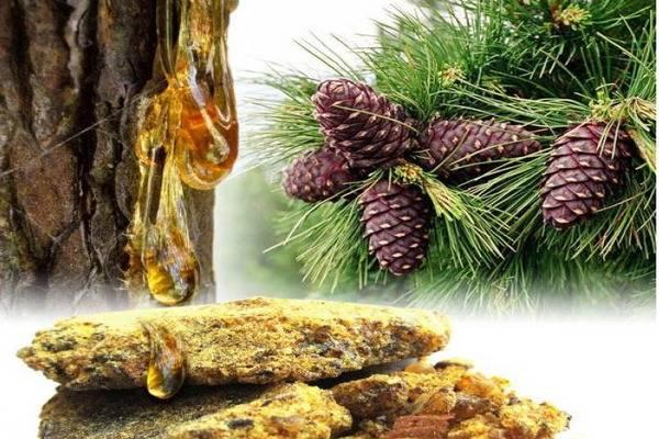 Живица сосновая: кладезь пользы в хвойном дереве