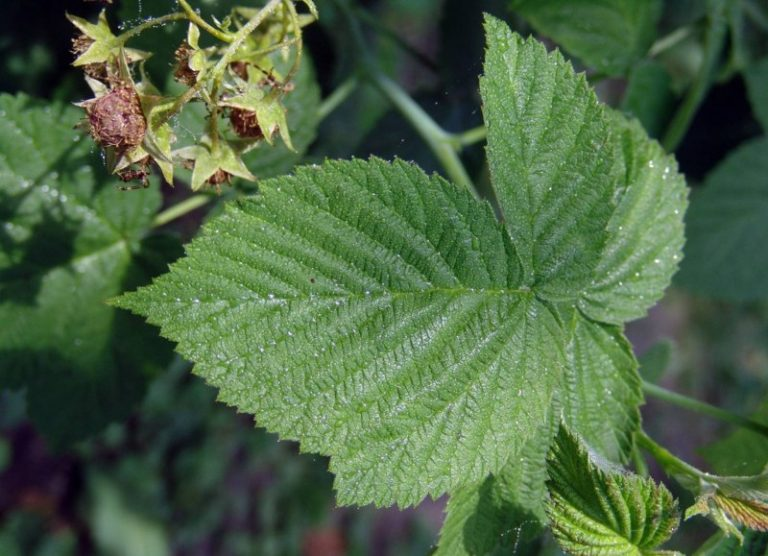 Листья малины в лечебной практике: свойства, рецепты чая