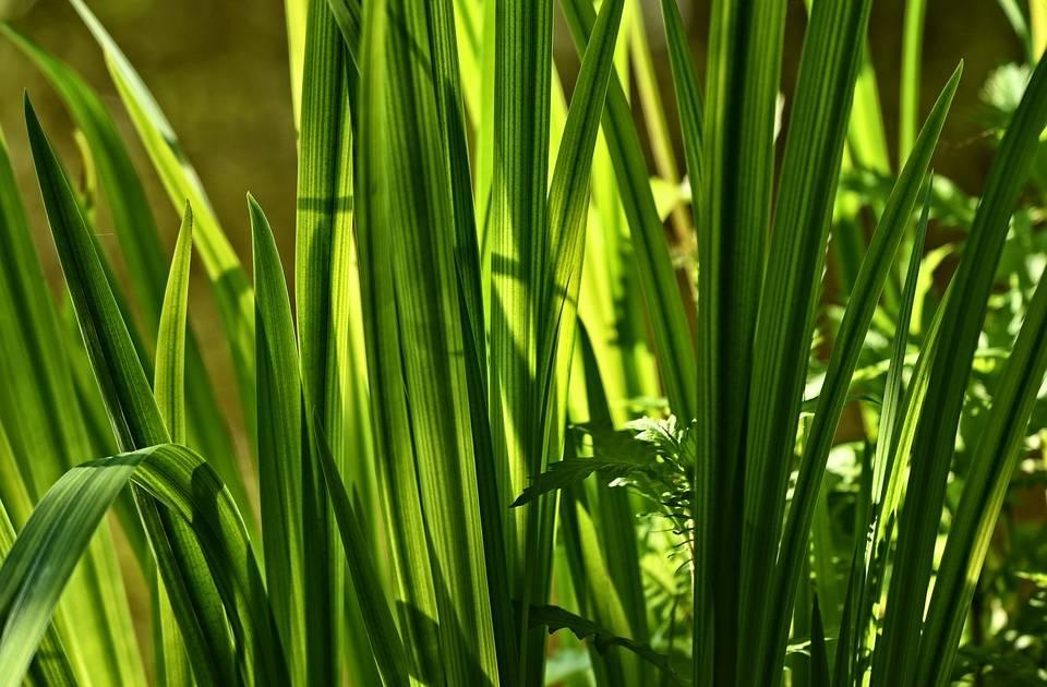 Аир болотный – корень здоровья