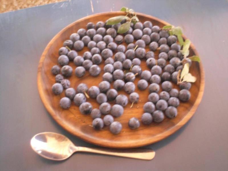Терн: что из себя представляет ягода, какова польза и вред садового терновника?