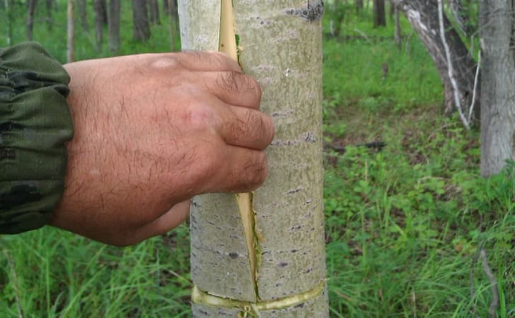 Лечение корой осины — отвары и настойки