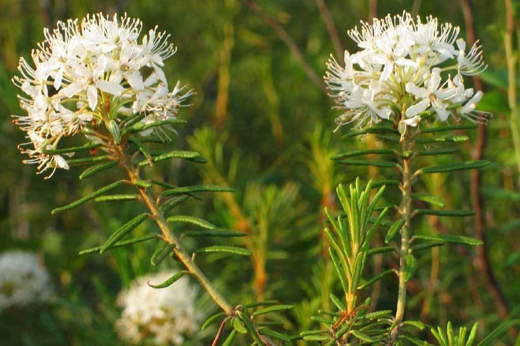 Чем полезен багульник болотный — лечебные свойства и противопоказания