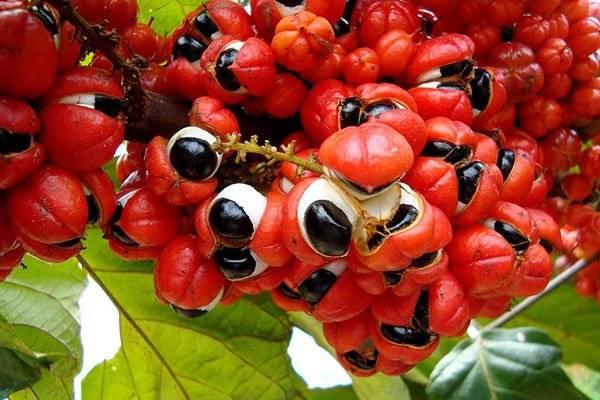 Полезные свойства гуараны