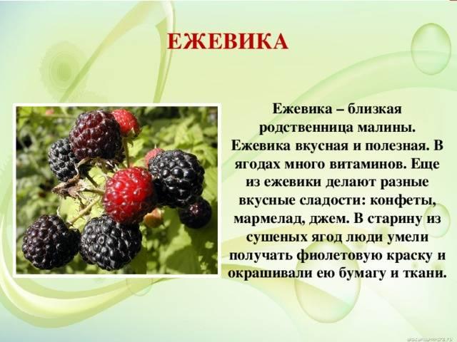 Ежевика, польза и вред для здоровья человека