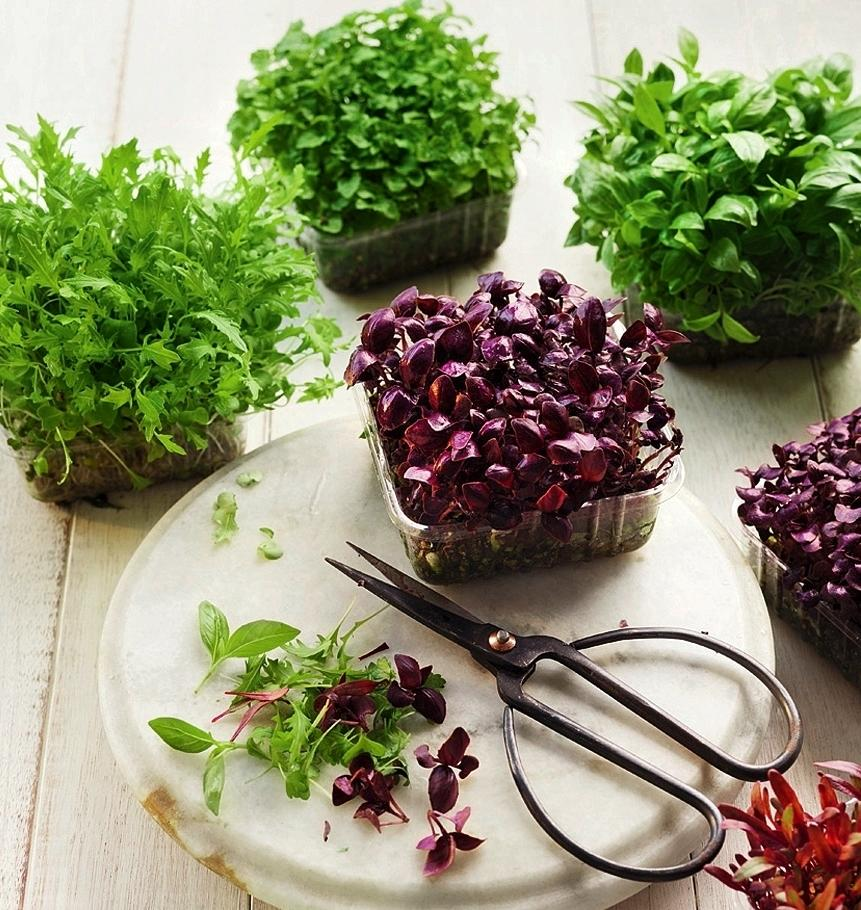Растение с неповторимым ароматом - базилик: полезные свойства, применение и противопоказания