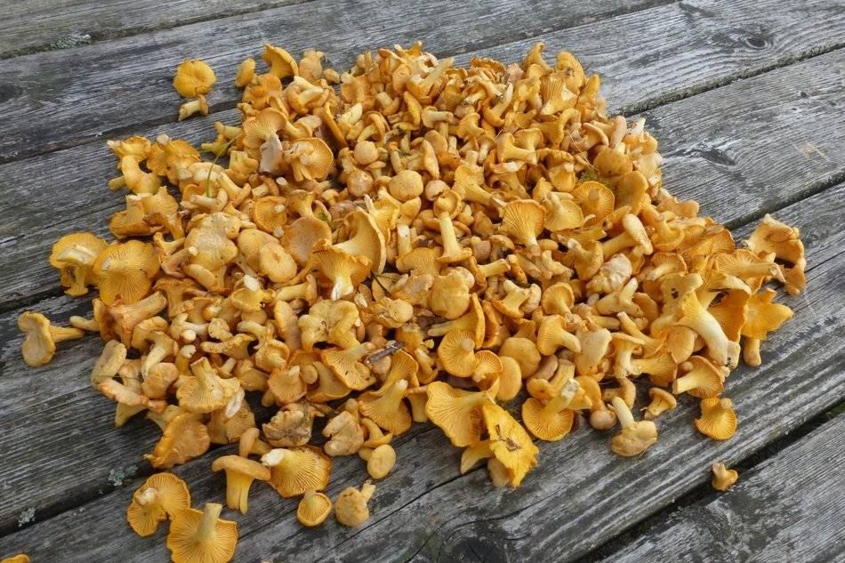 Всё о грибах лисичках: оказывается, они полезны не только как блюдо кухни!