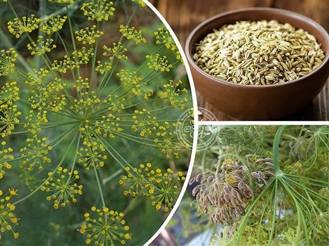 Применение семян укропа: все секреты и простые рецепты, польза и вред