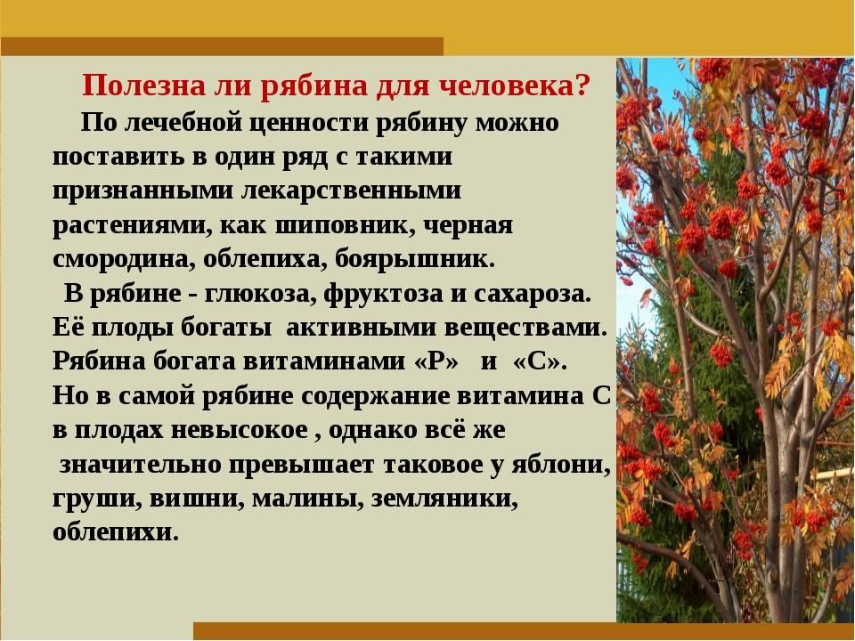 Лечебные свойства и противопоказания к употреблению красной рябины