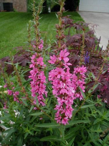 Вербейник: посадка и уход в открытом грунте, размножение и выращивание