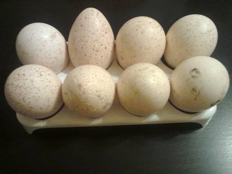 Яйца индейки: польза и вред