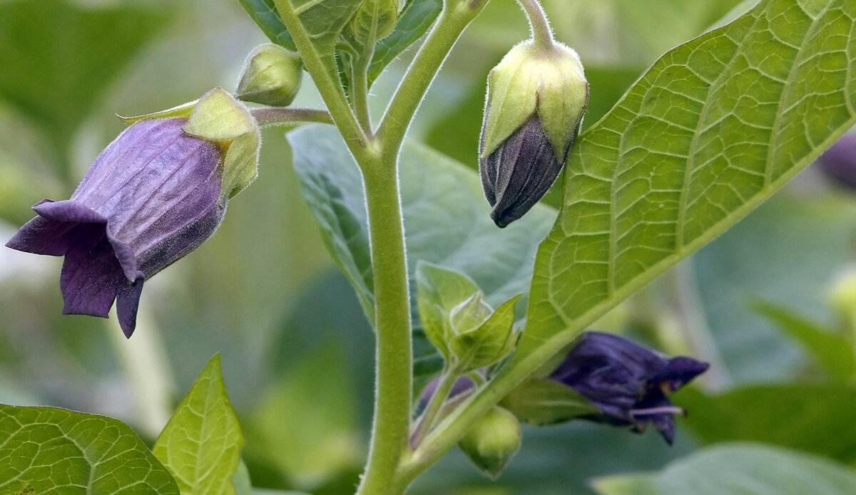 Красавка обыкновенная (белладонна на лат. atropa belladonna) – применение в медицине