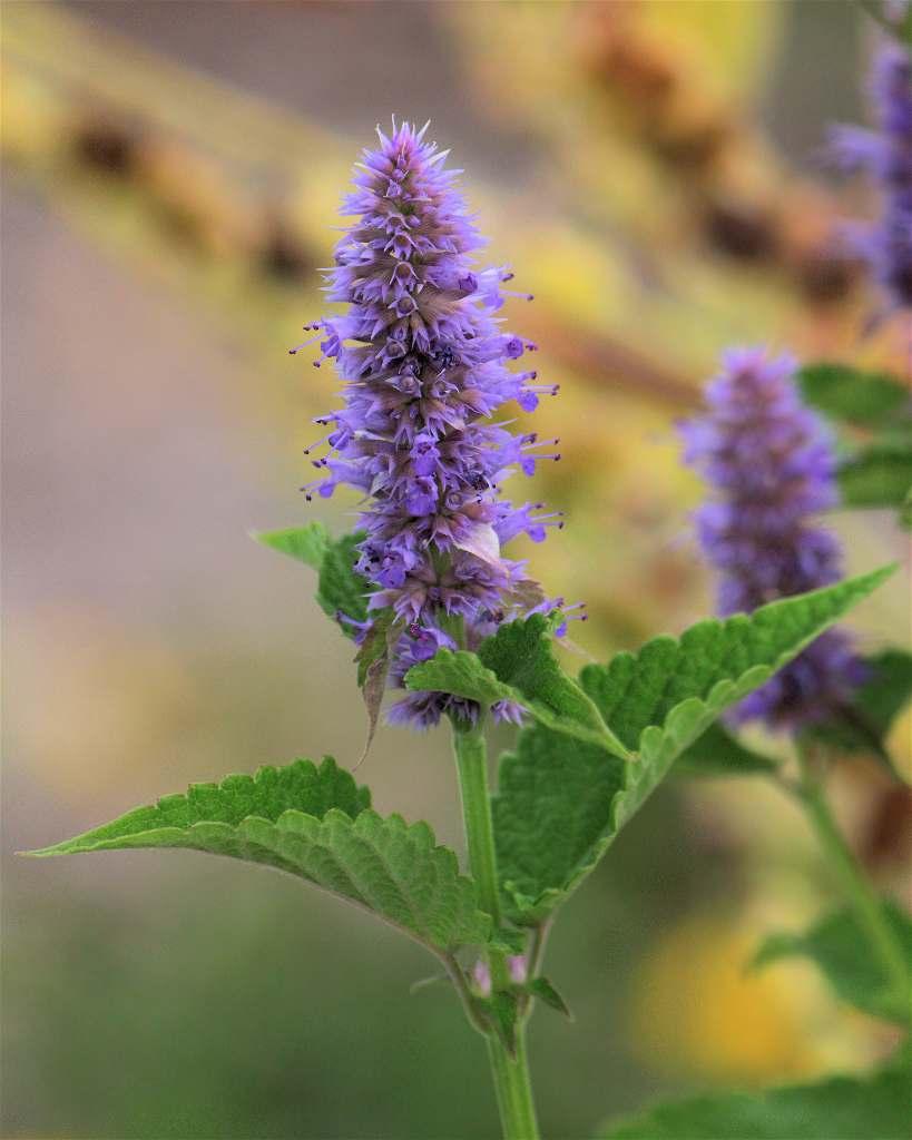Лофант анисовый: лечебные свойства растения и популярные рецепты на его основе