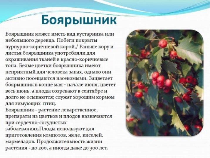 Настойка боярышника: польза и вред для человека