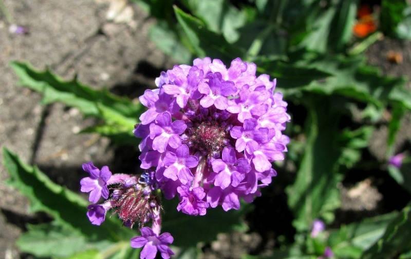 Вербена лекарственная — полезные свойства и противопоказания
