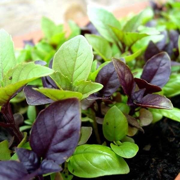 Лучшие рецепты с базиликом: 14 вкусных, лёгких и ароматных блюд