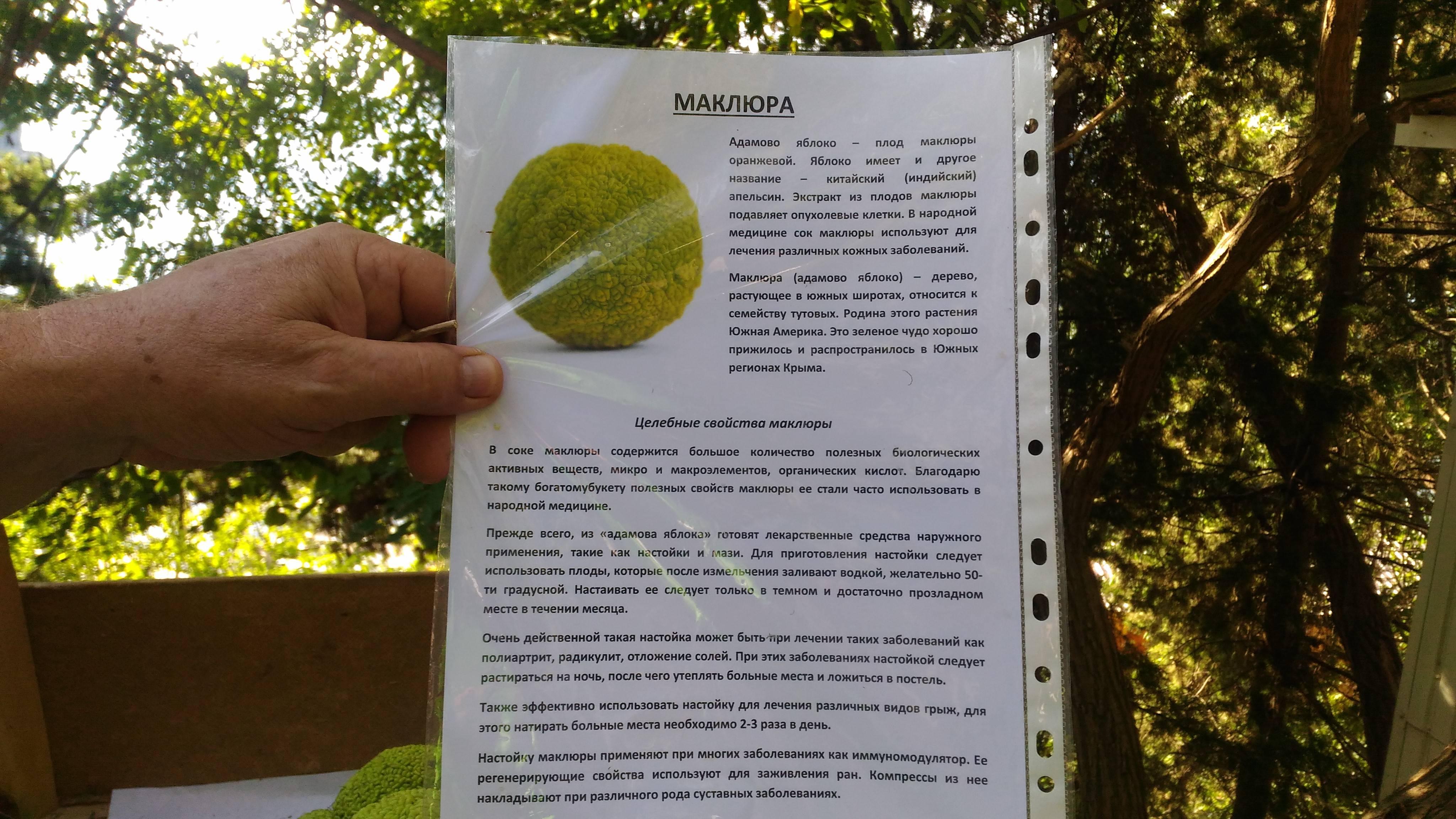 Маклюра или адамово яблоко: лечебные свойства и рецепты приготовления