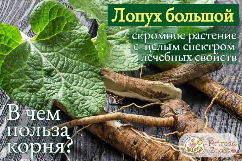 Лечебные свойства и противопоказания корня репейника