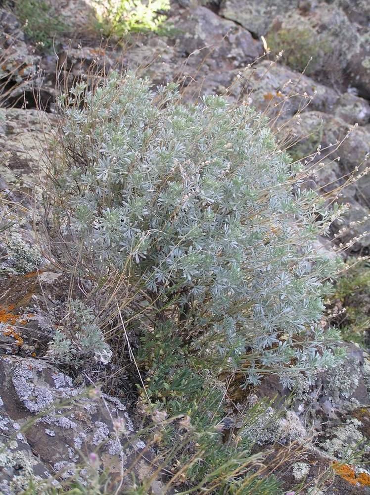 Горечавка обыкновенная — полезные свойства, описание