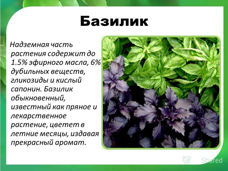 Базилик — польза и вред растения, использование для лечения и похудения